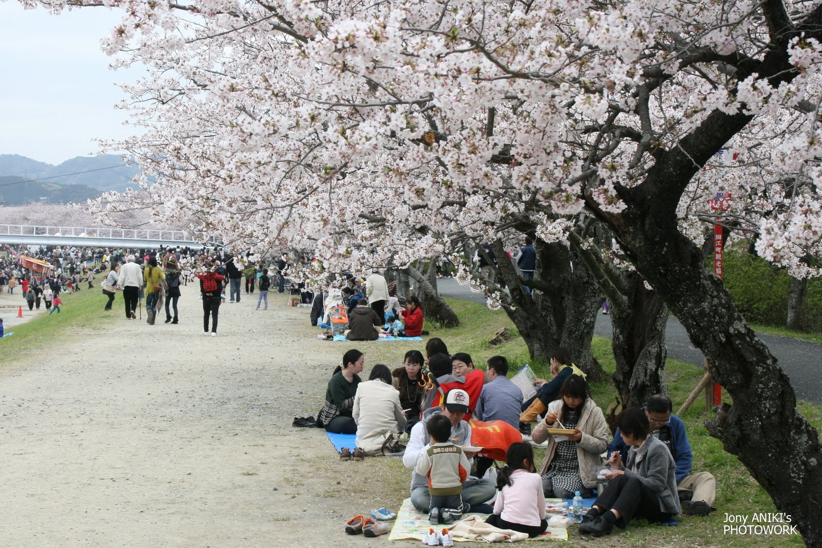 foto-foto-pemandangan-bunga-sakura-jepang-10